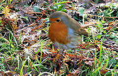 Robin on frosty day